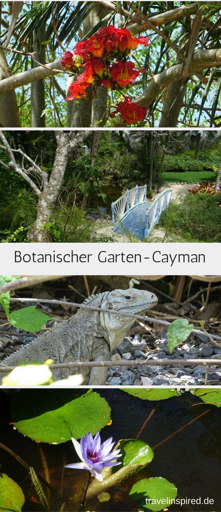 Auf der Karibikinsel Grand Cayman kannst du dir die seltenen blauen Leguane ansehen. Außerdem gibt es im Botanischen Garten dort jede Menge tolle Pflanzen, Vögel und sogar ein paar niedliche Agutis zu entdecken. #GrandCayman #BlauerLeguan #Leguan #Karibik #BotanischerGarten #Blumen