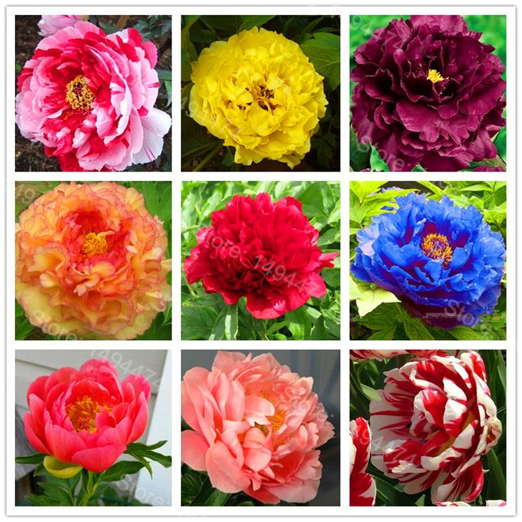 Hot Sale! 10pcs/bag mixed color peony seeds flower seeds High Quality Peony Flower Seeds bonsai plant for home garden #Affiliate