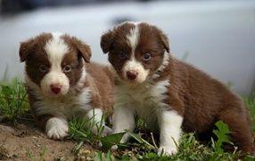 Рыжие красивые щенки бордер-колли