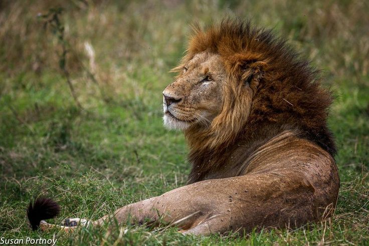The connection between walking with lions & canned lion hunting.