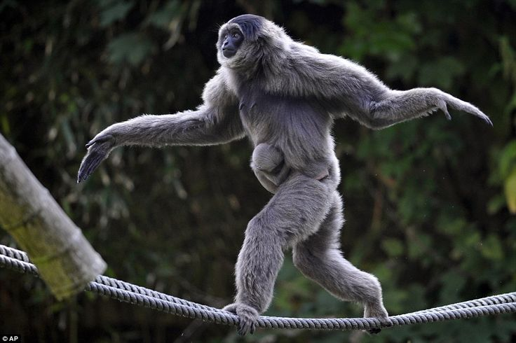 """Chapter 1: """"Their arms are so long that both gibbons and orangutans often walk on the ground or on the tops of branches bipedally, with their arms held above their heads."""" Female silvery gibbon Pangrango balances with her four week-old baby on ropes in their compound. Hellabrun Zoo, Munich. AP Photo."""