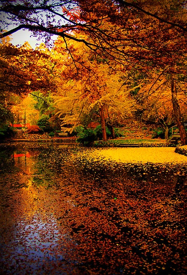 The leaves have filled the lake, this autumn, at Alfred Nicholas Gardens, the Dandenongs, Victoria, Australia.