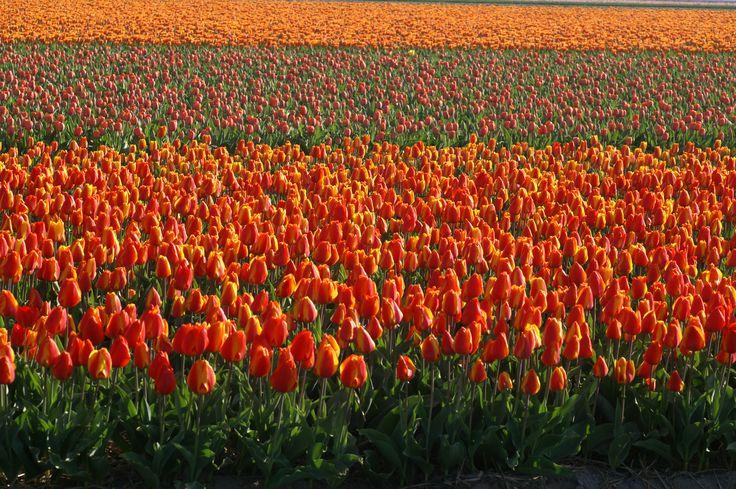 Tulip fields near Alkmaar - Netherlands