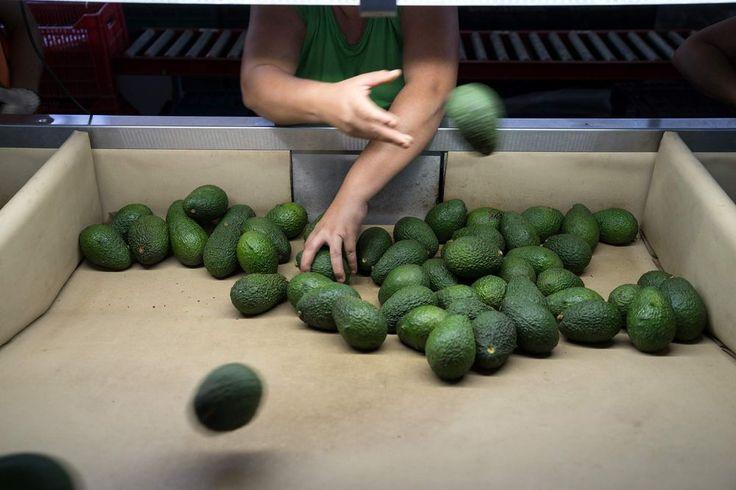 Avocado Prices Are Skyrocketing.