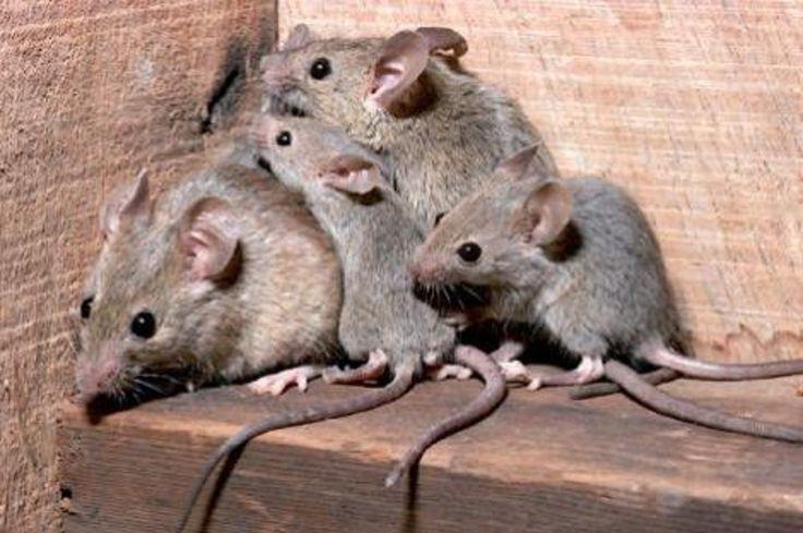 MASSA Sala operatoria chiusa sino al sette settembre a causa di topi rinvenuti nell'aerea operativa. Non è la prima volta che accade,