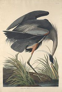 Drawing - Great Blue Heron by John James Audubon