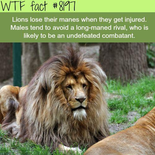 Long-maned lions - WTF fun fact