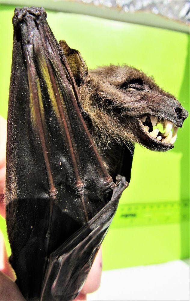 Cave Nectar Bat Eonycteris spelaea Skeleton FAST FROM USA