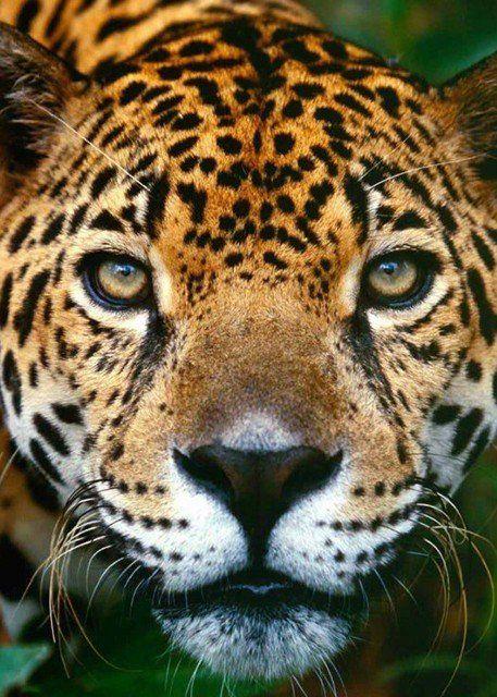 Леопард, Леопольд