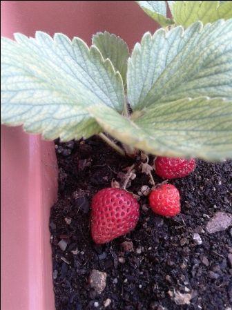 Cultivo ecológico de fresas en el huerto urbano | Un Huerto En Mi Balcon