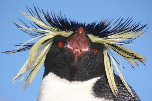 At 2pm this afternoon I found out that a Northern Rockhopper Penguin Eudyptes chrysocome moseleyi had been seen in one of Southern Rockhopper Penguin colonies out at ...
