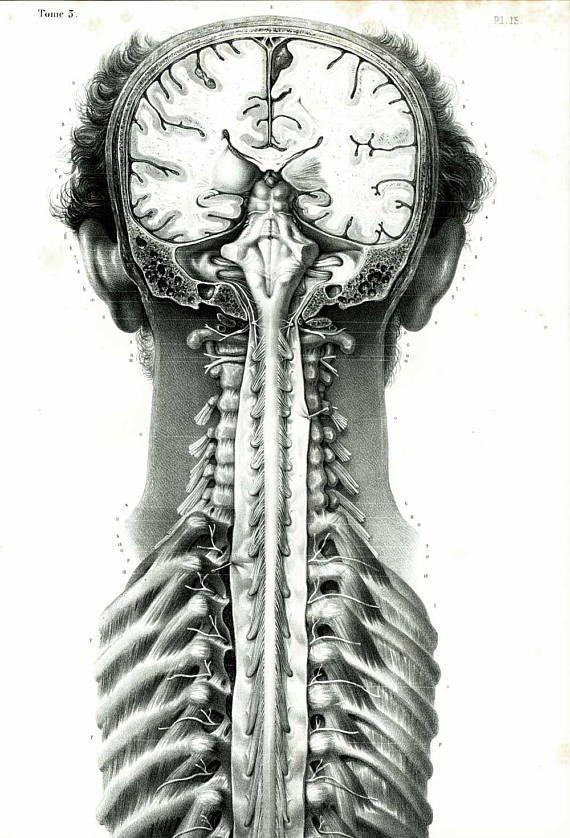 1836 XL Antique Vertebral Column Print, Spinal cord, Nervous system ...