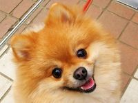 Pomeranian Rescue of Ca.  What a beautiful little Pom!!!!