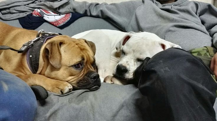 #AmericanBulldogs #Love # Django #BentleyBullyfiziert