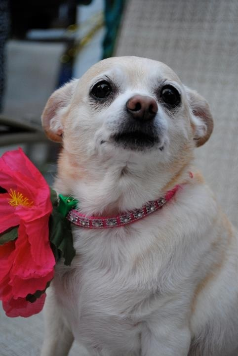 Fantastic Chunky Chubby Adorable Dog - 225d908bc2af686cc7706d0b0d101a8c--white-chihuahua-chihuahua-pups  Image_932820  .jpg