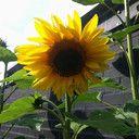 zonnebloem zonnebloemen kweken groeien zaaien zaad zaden