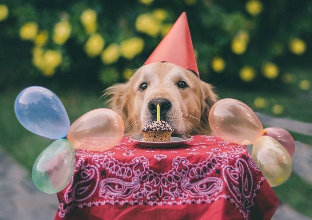 This Golden Retriever has no clue that she makes birthday hats look like the MOST ADORABLE THING IN THE WORLD. | 19 Dogs Who Don't Even Know How Cute They Are