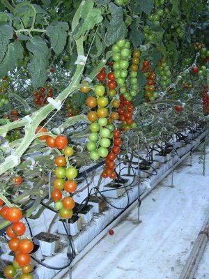 Hydroponic Tomato Crop Production by Dr. Lynette Morgan. A great book for indoor tomato growers who want to learn from a pro.