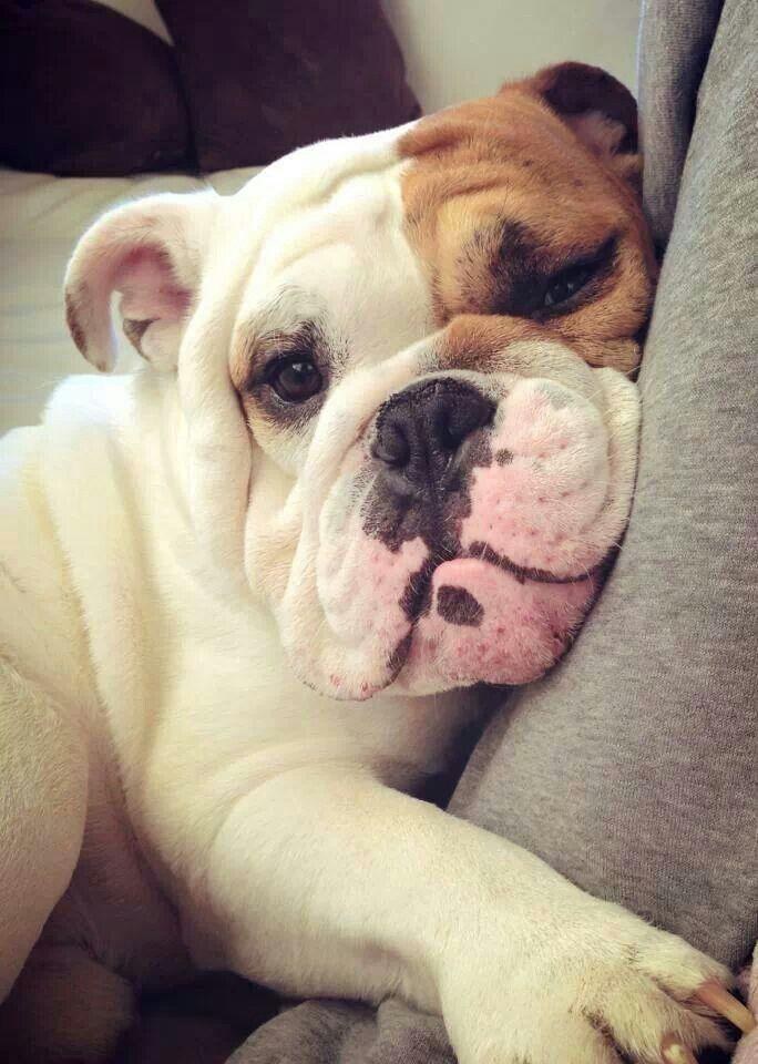Super Les 192 meilleures images du tableau Bulldogs sur Pinterest  AG05