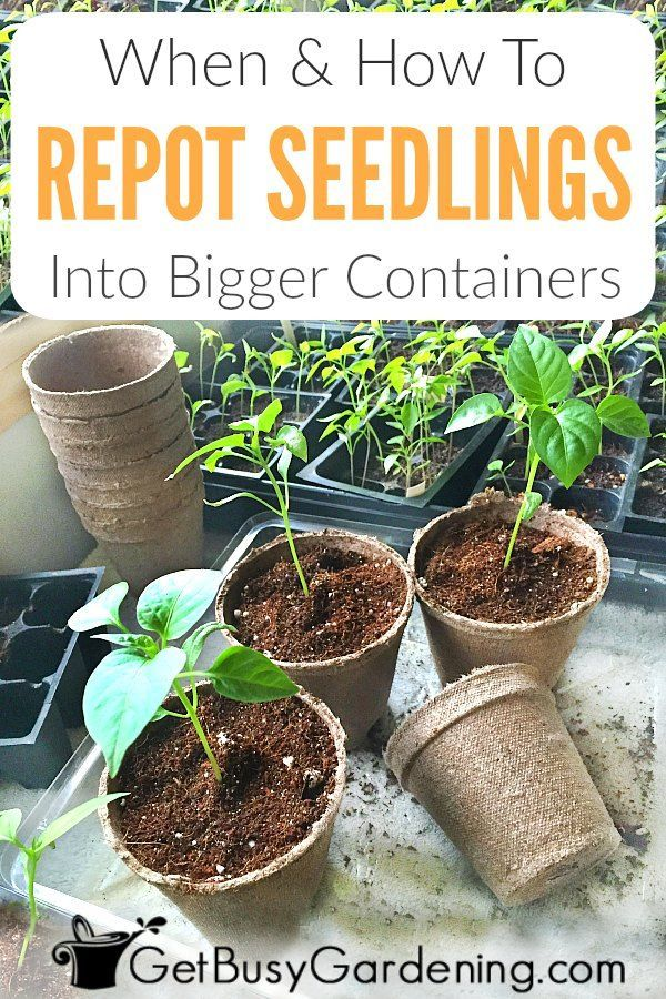 How To Repot Seedlings Into Larger Containers Seedlings When To Transplant Seedlings Plants