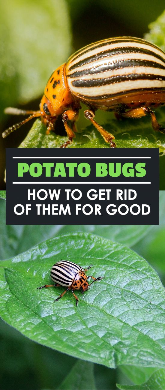 The potato bug, also called the Colorado potato beetle (Leptinotarsa decemlineata), is a very common agricultural pest. Many have bemoaned the day that these pesky little bugs appear in their garden. But there's ways to wipe them out! Today I'm going to tell you everything you need to know about the potato bug and how to get rid of them when they appear.