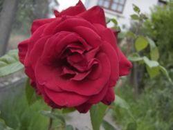 La rose, reine des fleurs, embaume nos jardins depuis le Moyen Age. Nous vous proposons de découvrir l'histoire de cette fleur maintes fois célébrée par les poètes et de suivre nos conseils pour bichonner vos rosiers et les bouturer. par Audrey