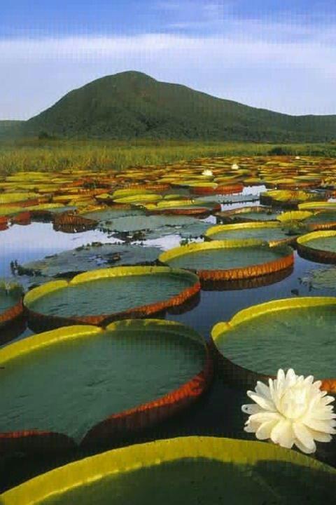 Vitória Régia Water Lily at Pantanal Matogrossense, Brazil Photo: Theo Allofs/Corbis