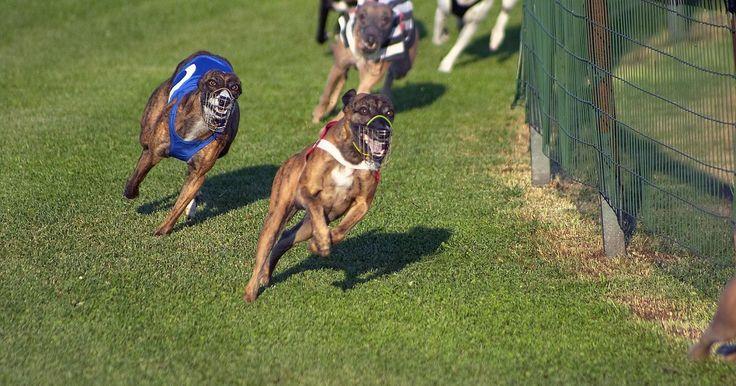 Una guía para la selección de ganadores de galgos. Las carreras de galgos es un deporte en el que los perros de carrera alrededor de la pista en una distancia especificada en una pista especializada. Es común que los espectadores apuesten, por lo que la elección de los ganadores es muy importante, los espectadores suelen juzgar la elección de su galgo en una carrera basada en la forma previa del ...