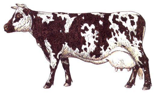 Les 79 meilleures images du tableau vaches sur pinterest art de vache la vache et peindre - Vache normande dessin ...