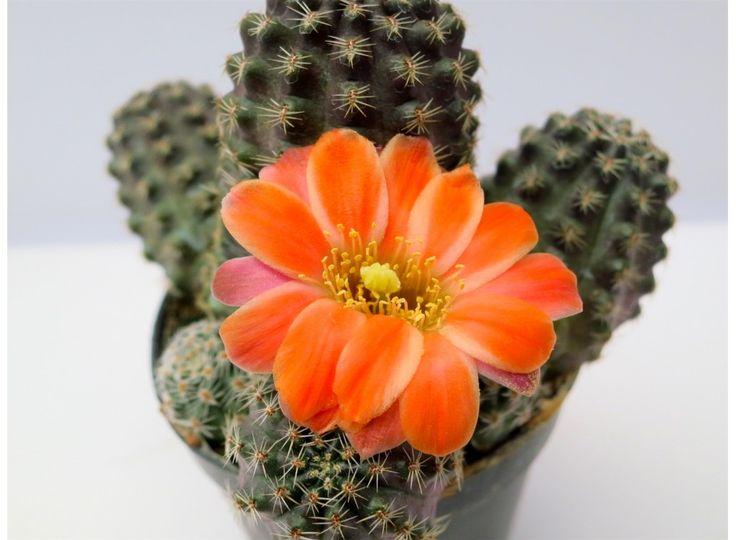 """Rebutia pygmaea """"haagei"""" - Cactus Agroideas"""