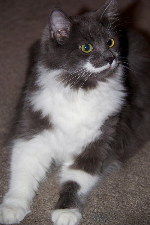 Meet Hamilton the mustached hipster cat - my best friend's cat looks just like this one.