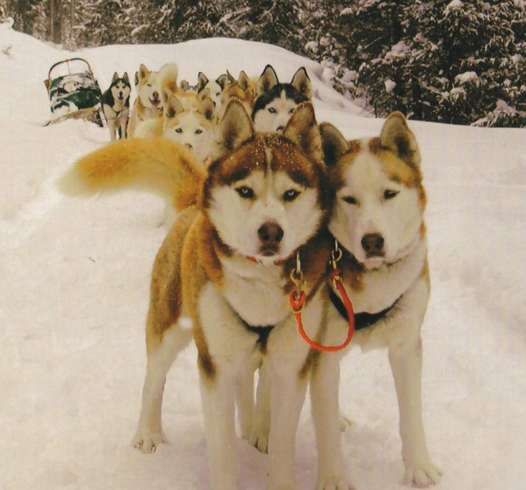 the ultimate sled dog