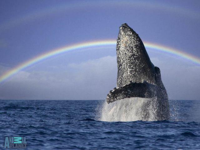 A humpback whale breachs off the coast of Maui, with a double rainbow.