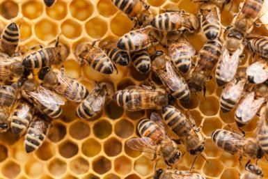 10 Fascinating Facts About Honey Bees: Honey bees.
