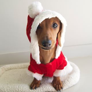 Santa Paws, is that you? | Community Post: 20 Adorable Dachshunds Who Are Totally Ready For Christmas