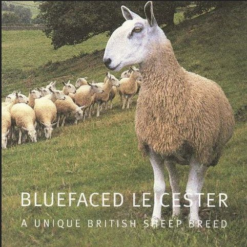blue-faced Leicester sheep via katedaviesdesign