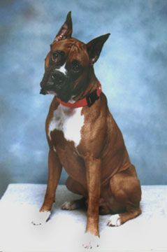 Boxer Rescue | american boxer dog boxer california rescue boxer ohio rescue boxer