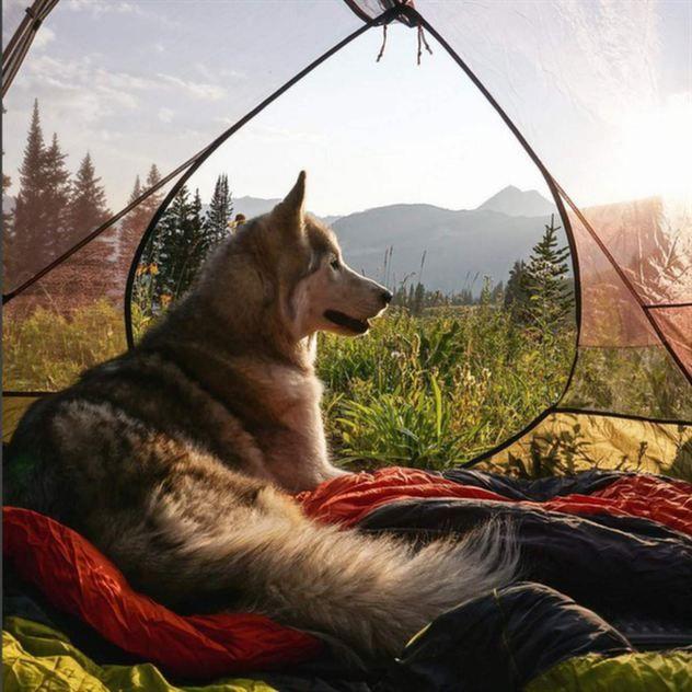 <span>Loki är en korsning mellan malamute, husky och polarvarg.</span>