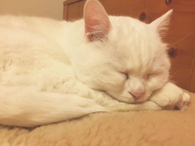 #白猫#猫#猫部#ねこ部#ネコ部#にゃんこ部にゃんこ#愛猫#まっしろねこ#でぶ猫#ぶさかわ#ふてにゃん#ふてねこ#猫好きな人と繋がりたい#ねこすきさんと繋がりたい#ねこすたぐらむ#おばあちゃん猫#きーちゃん#きーちゃんの毎日#ねこのいる生活#寝るねこ#寝る猫#すやすや猫#まん丸ねこ部