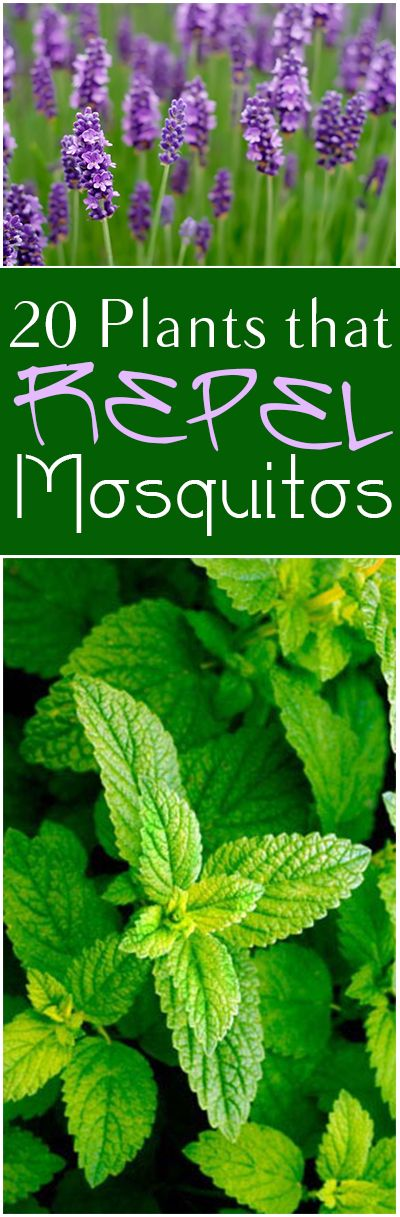 20 Plants that Repel Mosquitoes. Great plants and flowers that repel mosquitoes in your backyard.
