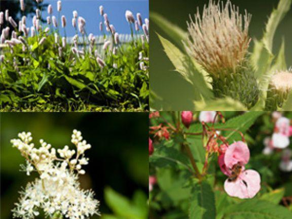 Viele essbare Wildpflanzen lassen sich ganz einfach zubereiten. Der Biologe Dr. Markus Strauß verrät in seinem Buch die besten Tricks und Tipps.