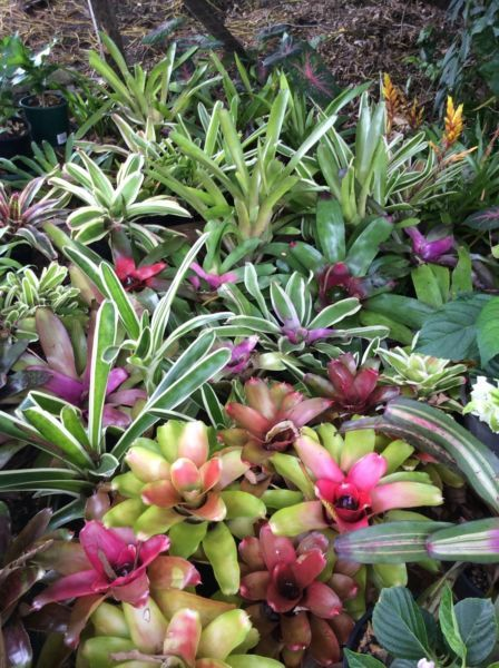 Bromeliads and other drought tollerant tropical plants | Plants & Pots | Gumtree Australia Noosa Area - Yandina Creek | 1065850405