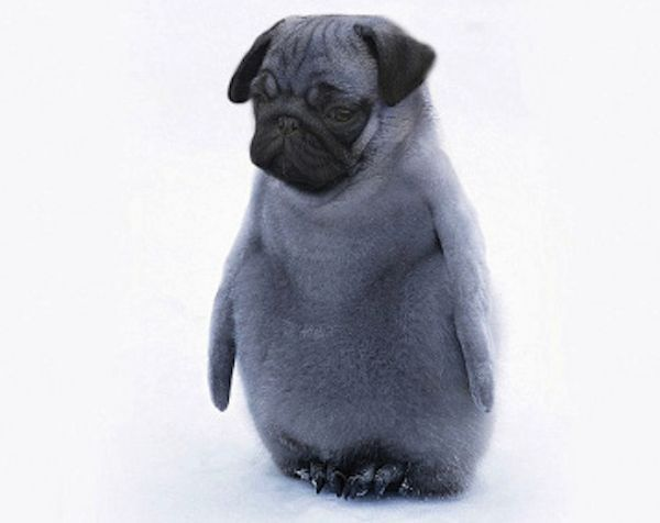 A penguin pug-Dirds Are So Cool