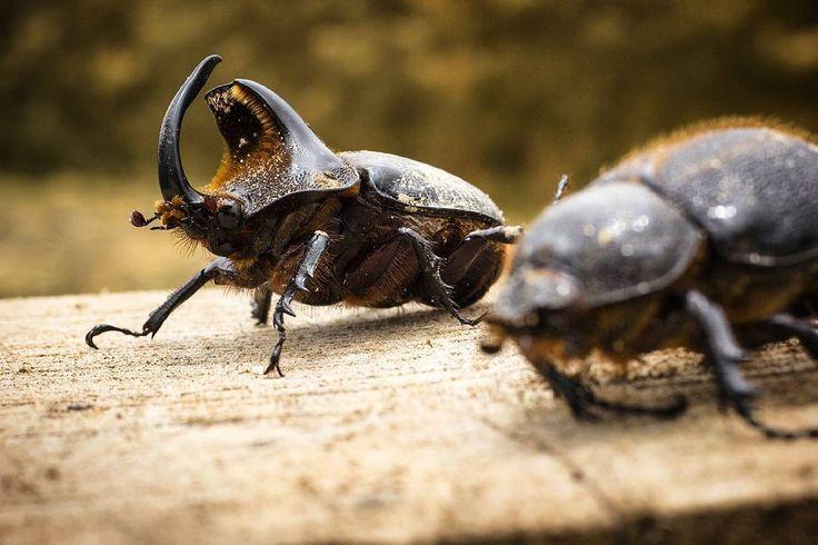 """""""Pequeños gigantes""""  Ph: Carlos Bernate @tejiendo_memoria14 / Tejiendo Memoria  Escarabajos pertenecientes a la familia Melolonthidae, la subfamilia Dynastinae y el género Heterogomphus y por distribución en Santander, posiblemente sean de la especie Heterogomphus chevrolati o Heterogomphus schoenherri. """"Está fauna que es el patrimonio de nuestra región, en el caso de que llegara la minería sería fatal su efecto.  Gran variedad de especies exóticas hasta algunas que ni se sabía de su…"""