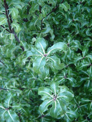 Pittosporum 'Arundel Green' (foliage)