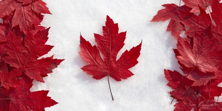 canada flag image   canada flag made of maple leaves on snow