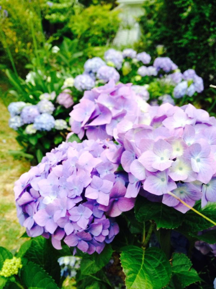 My lilac hydrangeas are heavenly, the perfect cut flower from the Florentina home garden