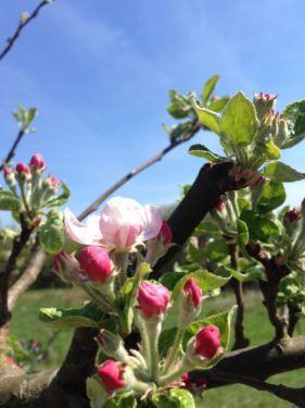 """Liebe Apfelbaum Freunde,der im Garten stehende Apfelbaum macht jedes Jahr die größte Freude, wenn er zum ersten Mal im April zu blühen beginnt.Wollen Sie einen herrlichen Apfelbaum in Ihrem Garten im kommenden Frühjahr zum """"Tag des Baumes"""" also am 25.04. blühen sehen?Kaufen Sie sich jetzt Ihren Apfelbaum incl. der diesjährigen Ernte von diesem Apfelbaum für 99,00 €. Ernte Zeit beginnt wahrscheinlich in diesem Jahr im September und dannach können Sie anschließend Ihren Apfelbaum ausgraben und…"""