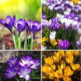 Discount Flowers Seeds Bulbs Saffron seeds, saffron flower seeds, saffron crocus seeds, it is not the Saffron bulbs - 100 seeds bag