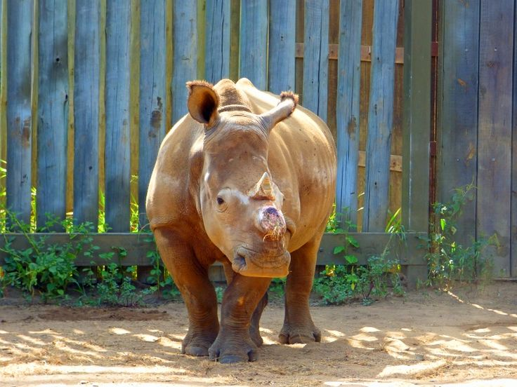 #ConvictGwalaRhinoKingpin - Rhino poaching kingpin and the magistrate that keeps him out of jail